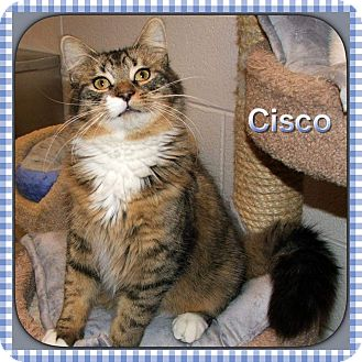 Maine Coon Cat for adoption in Atco, New Jersey - Cisco