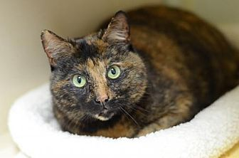 Domestic Shorthair Cat for adoption in Atlanta, Georgia - Lil' Momma170293