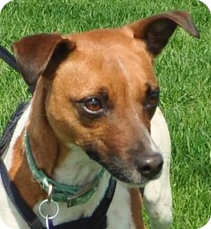 Jack Russell Terrier Mix Dog for adoption in Farmington, Minnesota - Penny