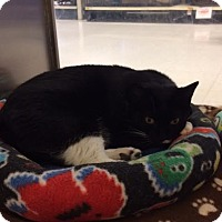 Adopt A Pet :: Sox - Byron Center, MI