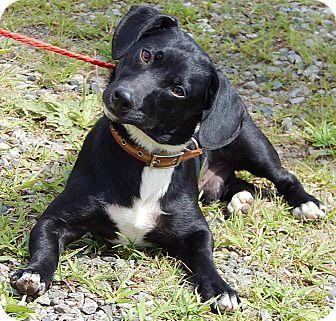 Corgi/Dachshund Mix Dog for adoption in Niagara Falls, New York - Bo (25 lb) New Pics & Video