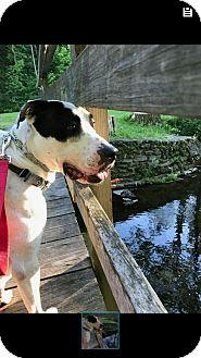American Bulldog/Great Dane Mix Dog for adoption in Batavia, New York - Ore
