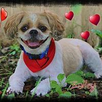 Adopt A Pet :: Bailey - Shippenville, PA