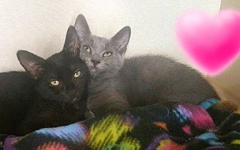 Russian Blue Kitten for adoption in Burbank, California - Luna & Natasha (bonded pair)