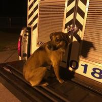 Adopt A Pet :: Lindy - Jacksonville, NC