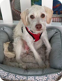 Terrier (Unknown Type, Small) Mix Dog for adoption in Thousand Oaks, California - Kawai