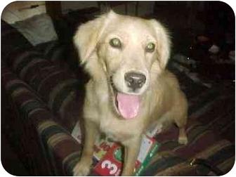 Retriever (Unknown Type) Mix Puppy for adoption in Scottsdale, Arizona - Marcia's Puppy