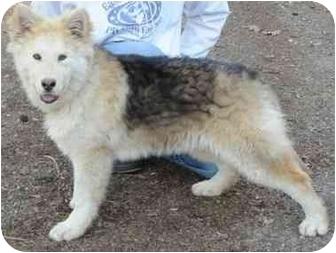 German Shepherd Dog Mix Dog for adoption in Rochester/Buffalo, New York - Apollo