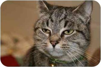 Domestic Shorthair Cat for adoption in Walker, Michigan - Addison