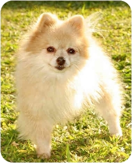 Pomeranian Dog for adoption in Marina del Rey, California - Boomer