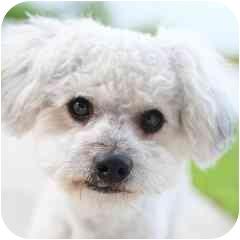 Bichon Frise Mix Dog for adoption in La Costa, California - Cooper