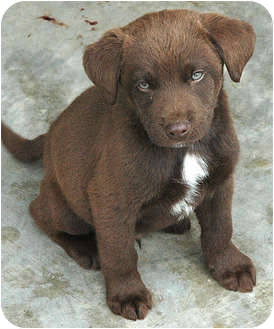 Chesapeake Bay Retriever/Akita Mix Puppy for adoption in Ripley, Tennessee - Chessy Babies
