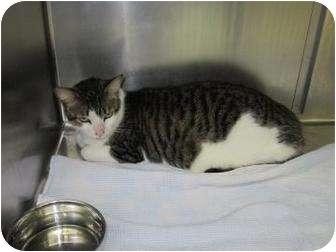 Domestic Shorthair Cat for adoption in Bradenton, Florida - Tigger