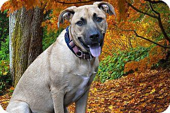 Shepherd (Unknown Type)/Boxer Mix Dog for adoption in Livonia, Michigan - Travis