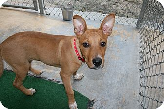 Terrier (Unknown Type, Medium) Mix Dog for adoption in San Antonio, Texas - Blaire