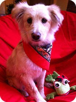 Golden Retriever Mix Puppy for adoption in Irvine, California - CHESTER