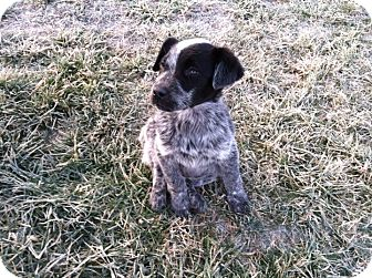 "Blue Heeler Mix Puppy for adoption in Plainfield, Illinois - Jimmy ""The Follower"""