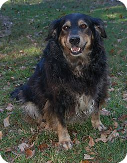 Golden Retriever/Flat-Coated Retriever Mix Dog for adoption in Knoxville, Tennessee - Kiki