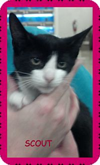 Domestic Shorthair Kitten for adoption in Saint Clair Shores, Michigan - Scout