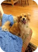 Pomeranian/Sheltie, Shetland Sheepdog Mix Dog for adoption in Homewood, Alabama - Caleb