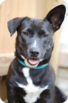 Terrier (Unknown Type, Medium)/Corgi Mix Dog for adoption in PORTLAND, Maine - Charlotte