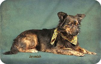Pomeranian Mix Dog for adoption in Kerrville, Texas - Jeremiah