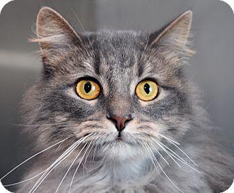 Domestic Longhair Cat for adoption in Royal Oak, Michigan - WILLOW