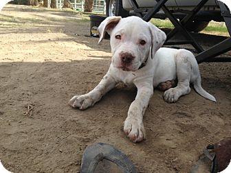Pit Bull Terrier/Labrador Retriever Mix Puppy for adoption in Tujunga, California - Gus