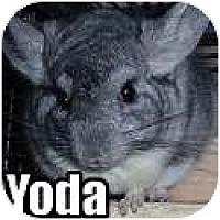 Adopt A Pet :: Yoda - Virginia Beach, VA