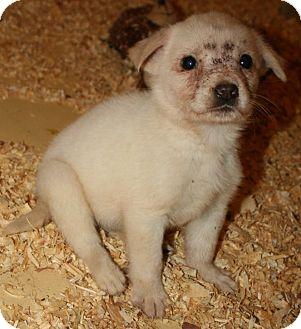 Labrador Retriever Mix Puppy for adoption in Pilot Point, Texas - ELLA