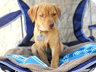 Labrador Retriever/Terrier (Unknown Type, Medium) Mix Puppy for adoption in Detroit, Michigan - Chunky-Adopted!