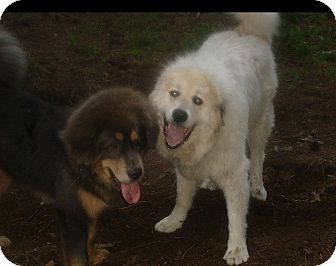 Great Pyrenees Dog for adoption in Lee, Massachusetts - Touque - MASS 2014