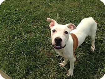 American Bulldog/Boxer Mix Puppy for adoption in KITTERY, Maine - BEAUREGARD