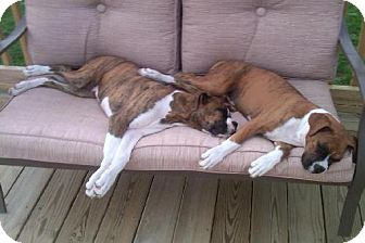 Boxer Puppy for adoption in Brentwood, Tennessee - Bama