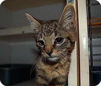 Domestic Shorthair Kitten for adoption in Manhattan, New York - Sol