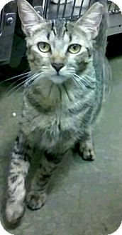 Maine Coon Kitten for adoption in New York, New York - Estrello