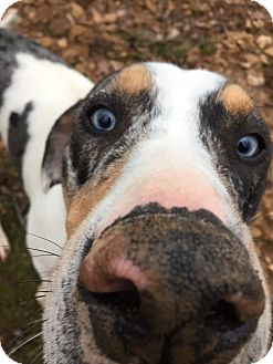 Catahoula Leopard Dog Mix Dog for adoption in Goodlettsville, Tennessee - Harley