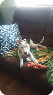 Bull Terrier/Labrador Retriever Mix Puppy for adoption in Media, Pennsylvania - Effie