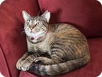 Domestic Shorthair Cat for adoption in Tallahassee, Florida - Maya