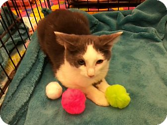Domestic Shorthair Kitten for adoption in Northfield, Ohio - WOODSTOCK