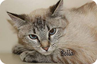 Siamese Cat for adoption in Idaho Falls, Idaho - Bella