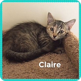 Domestic Shorthair Kitten for adoption in Greensburg, Pennsylvania - Claire