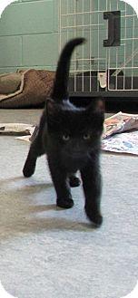 Domestic Shorthair Kitten for adoption in Warrenton, North Carolina - Stanley