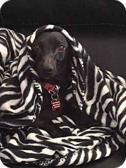 Dachshund Dog for adoption in Aurora, Colorado - Sheba