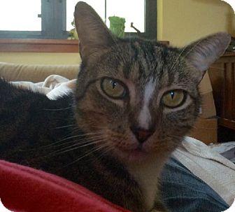 Domestic Shorthair Cat for adoption in Putnam Hall, Florida - Fergie