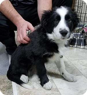 Border Collie/Great Pyrenees Mix Puppy for adoption in Milford, New Jersey - Spade~ADOPTED~