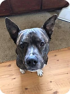 American Staffordshire Terrier/Akita Mix Dog for adoption in Eastpointe, Michigan - Jackson!