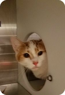 Domestic Shorthair Cat for adoption in Indianapolis, Indiana - Clifford