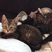 Domestic Shorthair Kitten for adoption in Vacaville, California - Dracula