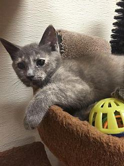 Domestic Shorthair Kitten for adoption in Chino Hills, California - Rosemary